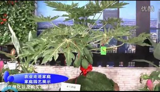木瓜籽种植盆景